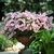 Petunias: Petunia x hybrida 'Shock Wave ™ Pink Vein'
