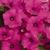 Petunias: Petunia x hybrida 'Shock Wave ™ Purple'