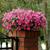 Petunias: Petunia x hybrida 'Shock Wave ™ Rose'