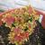 Annuals_pelargonium_x_hortum.small