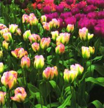 Tulip, Viridiflora 'Greenland'