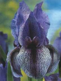 Iris, Spanish Mix