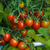 Tomatoes: Lycopersicon 'Moby Grape'