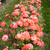 Modern_roses_rosa_patroit_dream-2.small