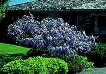 Wisteria Tree/Shrub