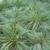Grasses_sporabolis_heterolepis-1.small