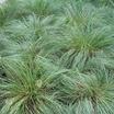 Grasses_sporabolis_heterolepis-1.thumb