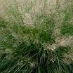 Grasses_sporabolis_heterolepis-3.thumb
