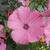Annuals: Lavatera trimestris (Malvaceae)