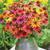 Coneflowers: Echinacea 'Warm Summer'