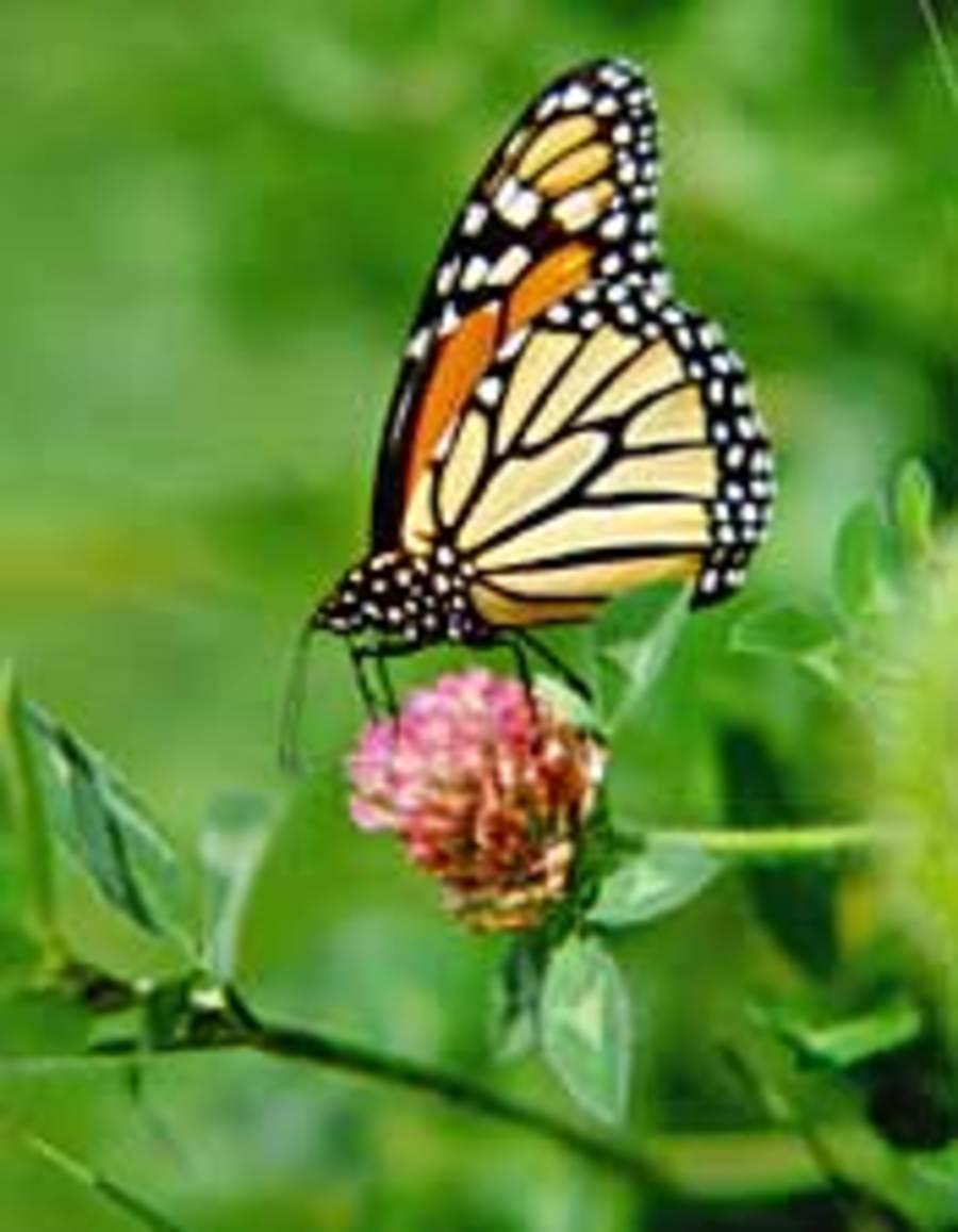 Monarch_folded_wing.full