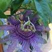 Passiflora_passiflora_incarnata_maypop.thumb