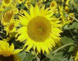 Sunflowers_helianthus_x_pacino.full