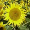 Sunflowers_helianthus_x_pacino.thumb