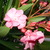 Screeners_nerium_oleander-1.small