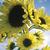 Sunflowers: Helianthus annuus 'Moonwalker'