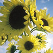 Sunflowers_helianthus_annuus_moonwalker.thumb