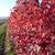 Maples: Acer x freemanii 'Bailston'