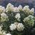 Hydrangeas: Hydrangea paniculata 'HYPMAD II' (PP18,500)