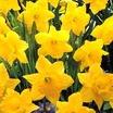 Daffodil, Trumpet 'Kassel's Gold'