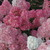 Hydrangeas: Hydrangea paniculata 'Renhy' (PPAF)