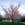 Ornamental Cherry: Prunus sargentii 'Hokkaido Normandale'