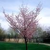 Ornamental_cherry_prunus_sargentii_hokkaido_normandale.thumb