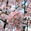Ornamental_cherry_prunus_sargentii_hokkaido_normandale-1.thumb