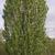 Hedges: Amelanchier alnifolia 'Obelisk'