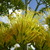 Agave_blooms_102309.small