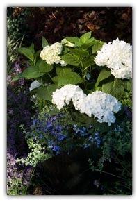 Hydrangeas_hydrangea_macrophylla_blushing_bride_pp17_169.full