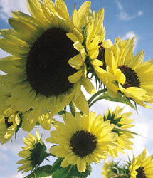Sunflowers_helianthus_annuus_moonwalker.detail