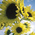Sunflowers_helianthus_annuus_moonwalker.small