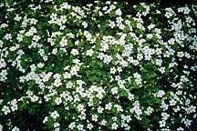 All_plants_sutera_snowflake_bacopa-1.detail