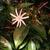Star_jasmine.small