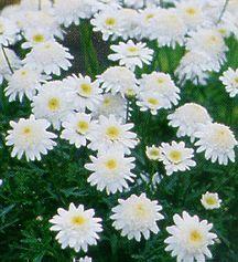 Daisies_argyranthemum_sugar_buttons-1.full
