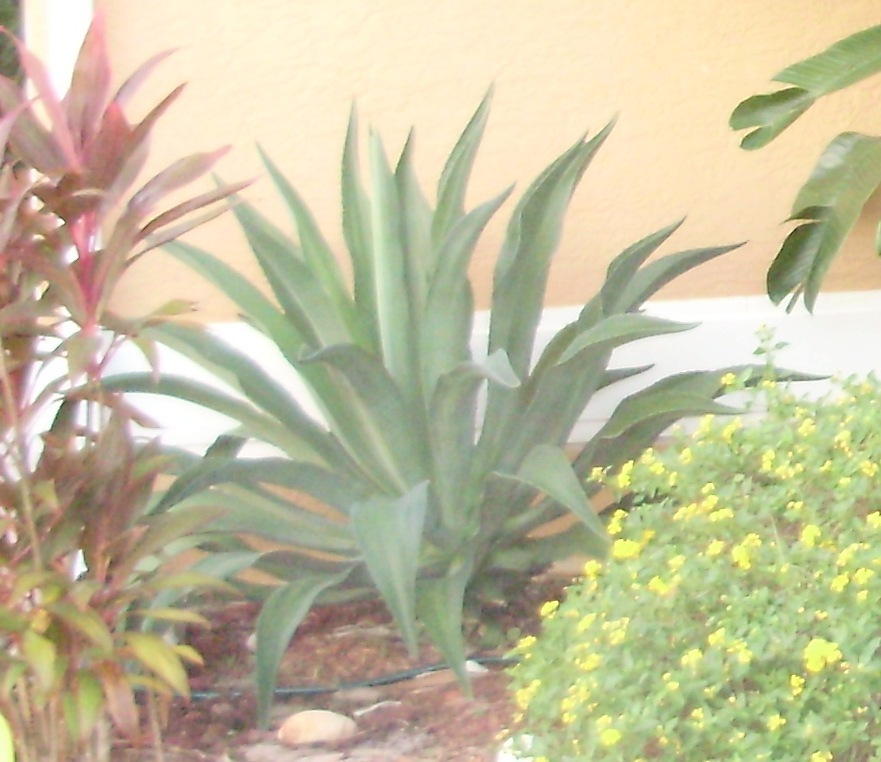 Agave_2_years_old_2008.full