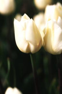 Tulips_tulipa_hibernia-1.full