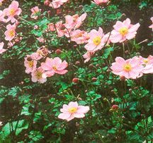 Anemone, Chinese 'Hadspen Abundance'