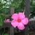 Tropicals: Mandevilla Splendens