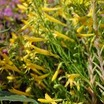 Penstemon_penstemon_pinifolius_mersea_yellow-1.thumb