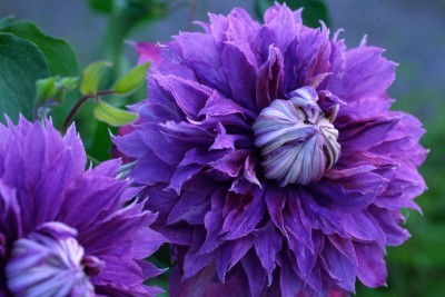 Clematis_clematis_evipo039_pp20_638-1.full