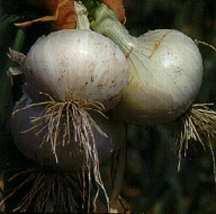 Onions_allium_cepa_white_bermuda_crystal_wax-1.full