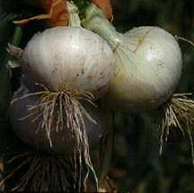 Onion, Short Day 'White Bermuda'