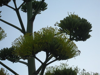 The Agave blooms attract so many bees!!!