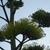 Agave_bloom_and_bees_103109.small