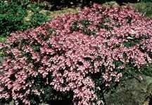 All_plants_penstemon_fructicosus_purple_haze-1.full