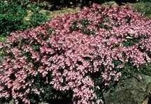 All_plants_penstemon_fructicosus_purple_haze-1.large