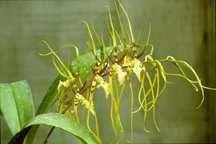 All_plants_brassia_edvah_loo_goldielocks-1.full
