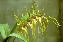'Goldilocks' Orchid